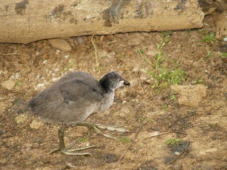 moorhen: Common Moorhen Chick