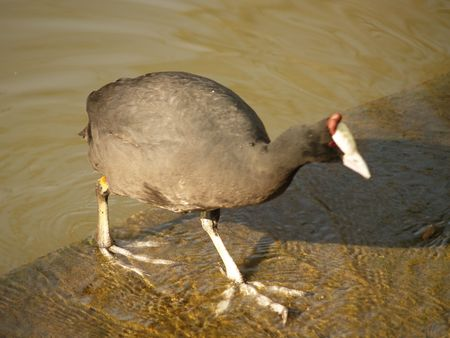 roberts: Common Moorhen