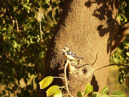 crested: Crested Barbet
