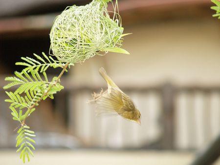 finch: Finch (Female) Stock Photo