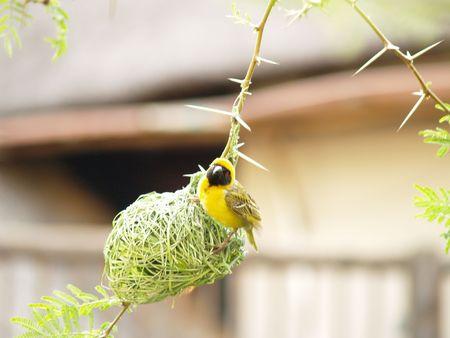 finch: Yellow Finch (Male)
