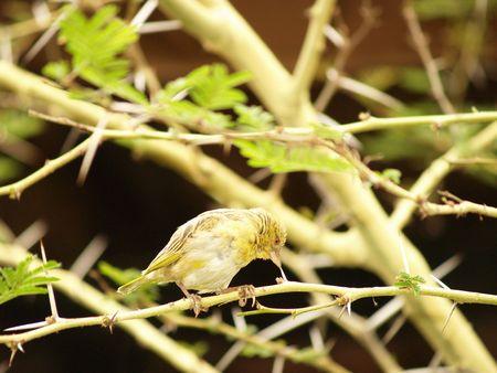 Finch (Female) Stock Photo