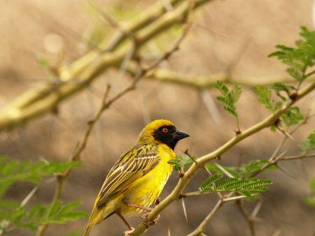 Yellow Finch (Male)