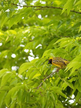roberts: Yellow Finch (Male)