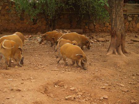 jabali: Cerdos salvajes Foto de archivo