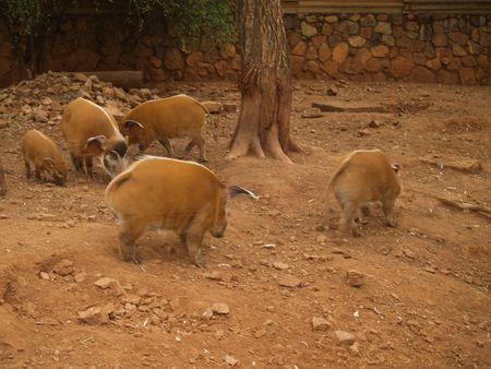 jabali: Cerdo salvaje Foto de archivo