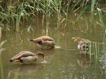 Egyptian Geese photo