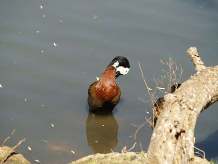 faced: White Faced Duck