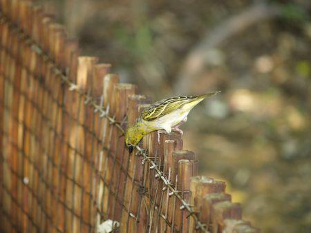 finch: Yellow Finch