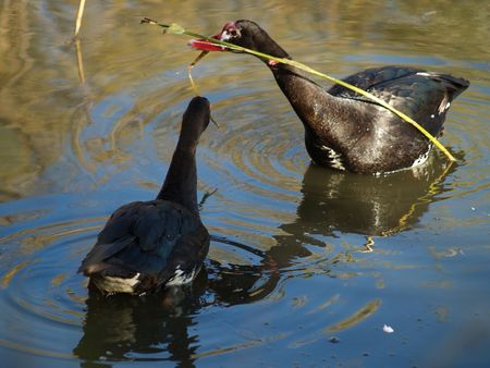 spur winged: Spur Winged Goose