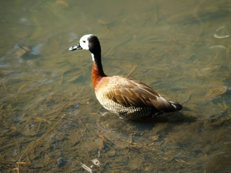 White-Faced Duck Stock Photo