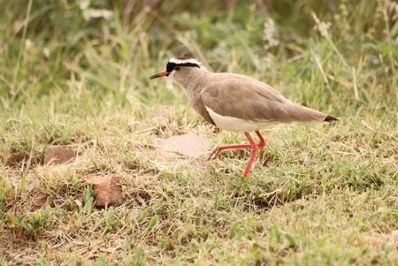 plover: Crowned Plover Stock Photo