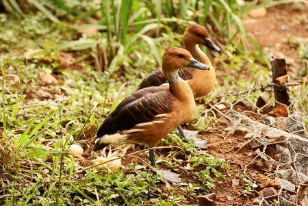 fulvous: Fulvous Ducks
