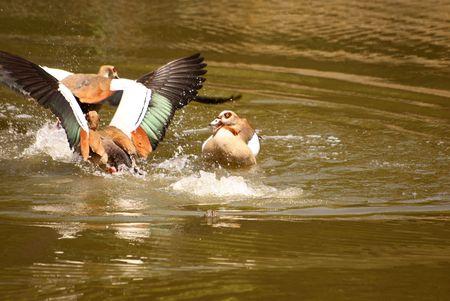 Eguptian Geese Stock Photo - 4080515