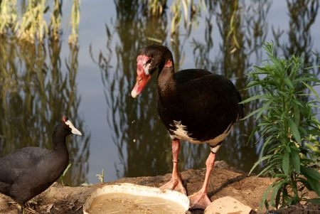 spur winged: Spur-Winged Goose Stock Photo