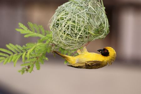 Spotted Backed Weaver