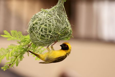 Sptted Backed Weaver