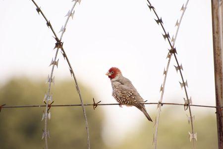 finch: Red Heade Finch