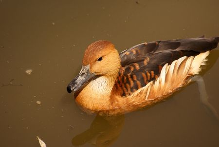 fulvous: Fulvous Duck