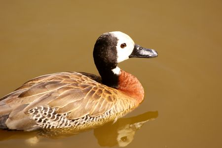 roberts: White-Faced Duck Stock Photo