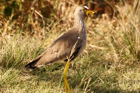 wattled: African Wattled Lapwing