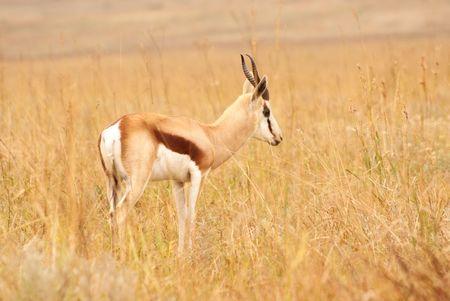 springbok: Springbok