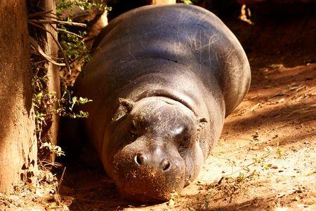 Dwarf Hippopotamus Stock Photo