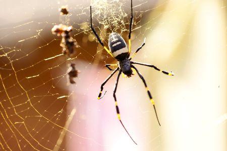 Striped leg Golden Wagon wheel Spider