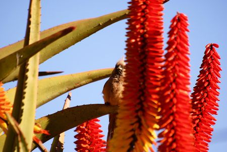 Specled Mousebird