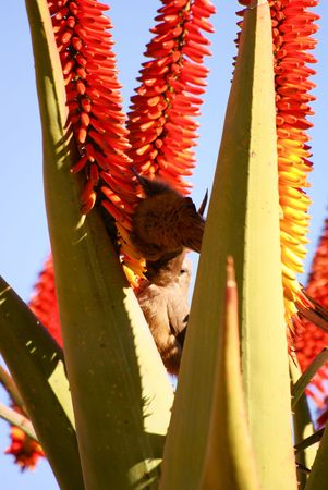 Specled Mousebird photo