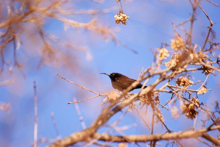 Amythist(Africa Black) Sunbird