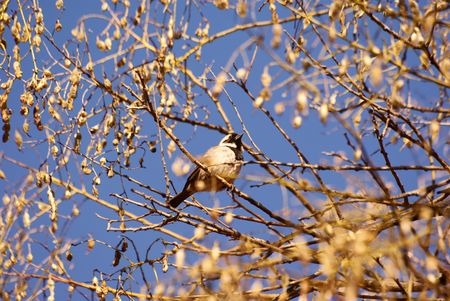 Cape Sparrow Stock Photo - 5150834