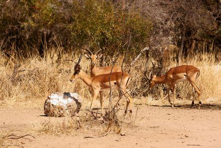 Impalas eating