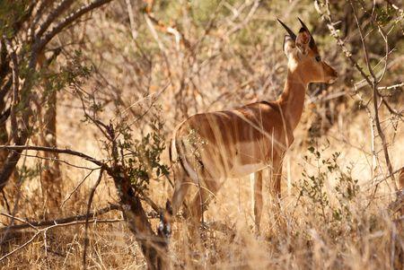 Impala between trees Stock Photo - 5576373