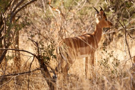 Impala between trees