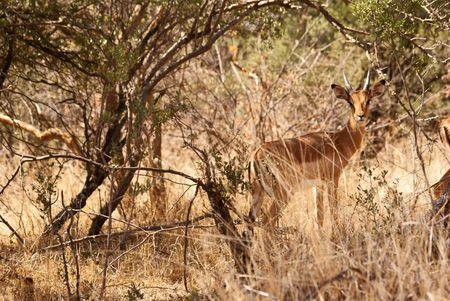 Impala between trees Stock Photo - 5576376