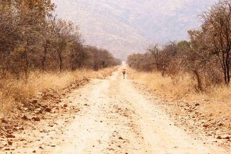 Impala on road