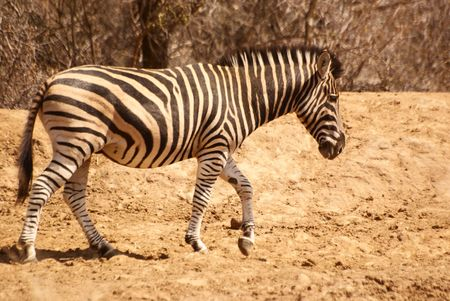 Zebra Walking Stock Photo - 5576372