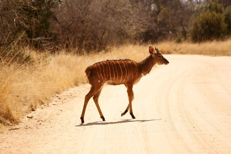 Nyala on road Stock Photo - 5576368