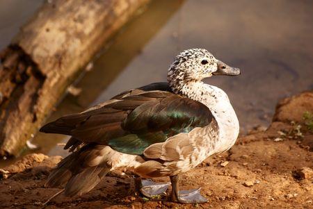 Knob-billed Duck Stock Photo - 5576370