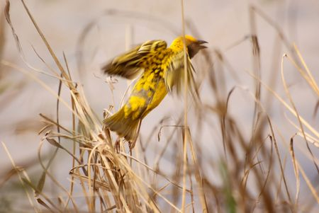 Village (SpottedBacked) Weaver Stock Photo - 5576358