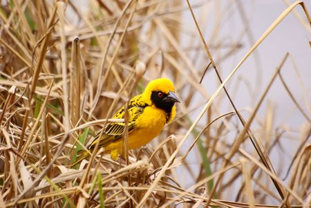Village (SpottedBacked) Weaver Stock Photo - 5576366
