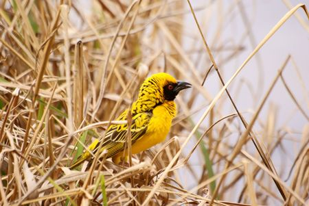 Village (SpottedBacked) Weaver Stock Photo - 5576367