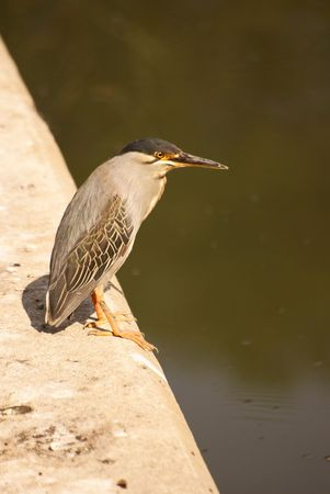 Green-Backed Heron Stock Photo - 5576359