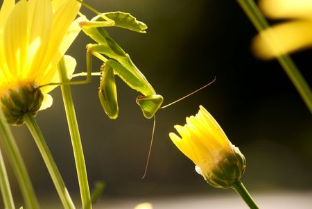 Green Praying Mantis Stock Photo - 6685759
