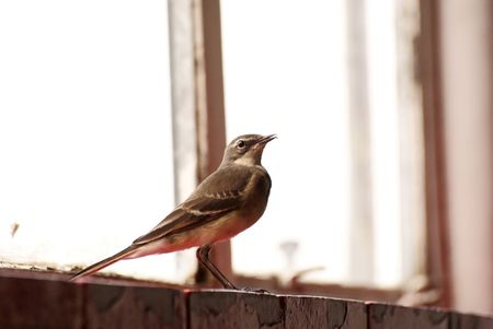 Cape Wagtail photo