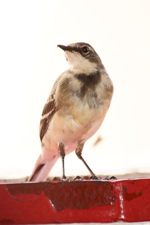 Cape Wagtail Stock Photo