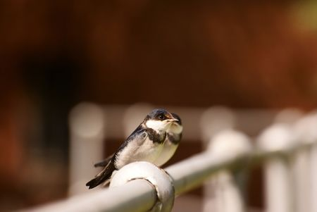 Swallows Stock Photo - 6685802