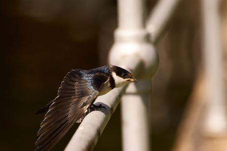 Swallows Stock Photo - 6685800