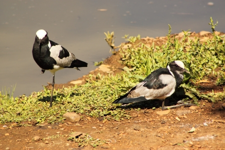 spur winged: Lawing Plover  Stock Photo